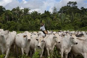 Cattle Ranching at Livestock Farm in Brazil