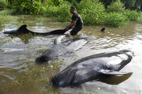Stranded Pilot Whales in Probolinggo