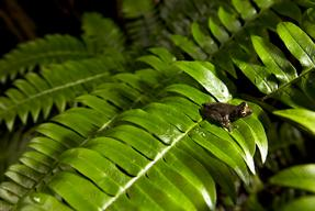 Papuan Tree Frog