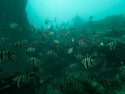 School of Old Wives in the Great Australian Bight