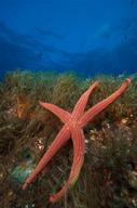 Starfish in the Mediterranean Sea