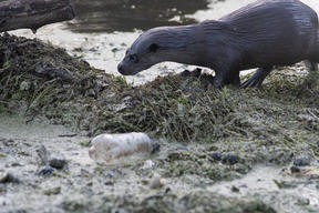 Otter and Plastic Bottle in Norfolk