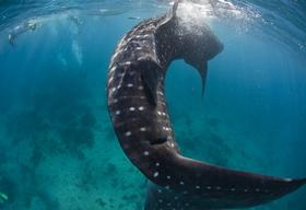 Whale Sharks in the Philippines