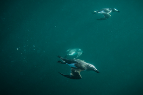 Razorbill Diving Underwater, Shiant Isles, Scotland