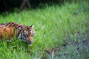 Sumatran Tiger in Tambling Wildlife Nature Conservation