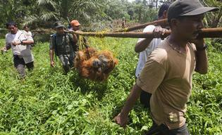 Orangutan Removed and Relocated in Tripa
