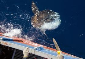 Mola Mola Caught by Spanish Longliner