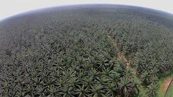 Oil Palm Plantation in Cameroon