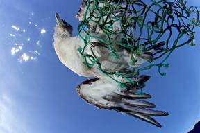 Seabird Caught in Fishing Net off the Azores