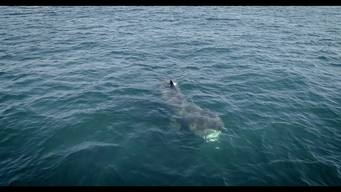 Basking Shark in Scotland (Drone Footage) - B-Roll