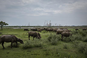 Buffalos near the Coal Power Plants in Cirebon